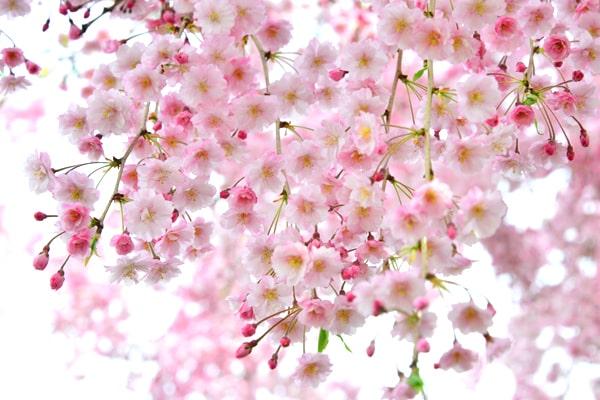越前陶芸村しだれ桜まつり